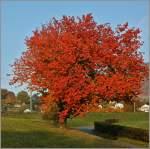 Herbst/166302/ein-baum-im-herbstgewand01112011 Ein Baum im Herbstgewand. (01.11.2011)