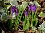 Blumen/123686/heute-mittag-in-unserem-garten-entdeckt Heute mittag in unserem Garten entdeckt. 01.03.2011 (Jeanny)