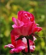Blumen/143870/eine-rose-in-voller-bluete28052011 Eine Rose in voller Blüte (28.05.2011)