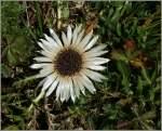 Blumen/164399/durch-das-sonnenlicht-zeigt-sich-die Durch das Sonnenlicht zeigt sich die Schönheit dieser Distel. (10.09.2011)