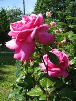 Blumen/26341/rosen Rosen