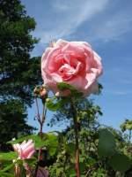 Blumen/26342/rosen Rosen
