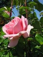 Blumen/26343/rose Rose