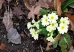 Blumen/56727/der-fruehling-hat-sich-auf-den Der Frühling hat sich auf den Weg gemacht: Die ersten Primeln! (03.03.2010)