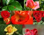 Blumen/83394/experiment-ii-dieses-mal-mit-rosenjuni Experiment II, dieses mal mit Rosen (Juni 2010)