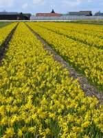 Blumen/9709/bald-ist-es-wieder-fruehling-und Bald ist es wieder Frühling und sieht es hier in Holland so aus. Fotografiert bei Leiden 05-04-2008.