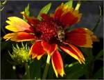 Insekten/122807/im-abendlicht-des-05092010-besucht-eine Im Abendlicht des 05.09.2010 besucht eine Biene die Kokardenblume. (Jeanny)