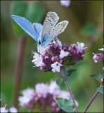 Insekten/284429/-der-hauhechel-blaeuling-leuchtet-im-abendlicht . Der Hauhechel-Bläuling leuchtet im Abendlicht des 04.08.2013. (Jeanny)