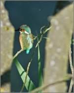 Tiere in der Natur/147876/das-es-den-eisvogel-am-genfersee Das es den Eisvogel am Genfersee gibt wusste ich, nun ist mir zum ersten Mal eine Aufnahme von ihm gelungen. (01.07.2011)