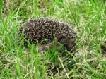 Tiere in der Natur/26625/k-u-k-u-k- K U K U K ... K U K U K ....