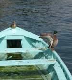 Vogel/7588/achtung-jetzt-komm-ichjuni-2008 Achtung jetzt komm ich! (Juni 2008)